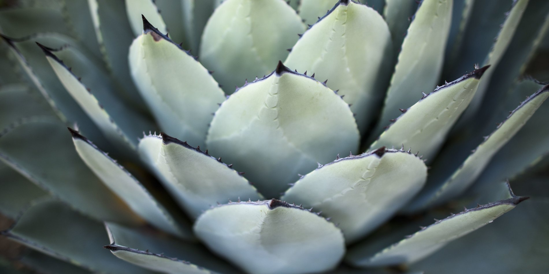 Parry's agave, or mescal agave, is a slow-growing succulent perennial native to Arizona, New Mexico and northern Mexico.